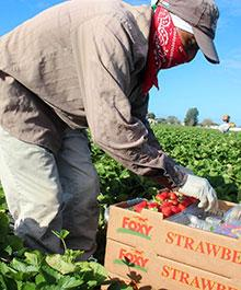 Field hands pick strawberries in Plant City