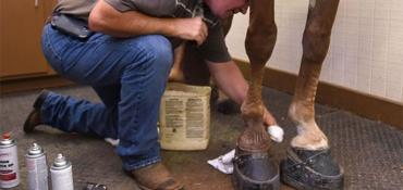 A horse being sored, with 8-pound boots and chains