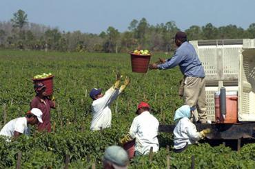 Tomato pickers in Central Florida